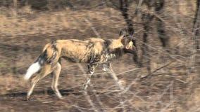 Il cane selvaggio africano sta sulla savanna archivi video