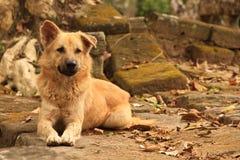 Il cane selvaggio della via protegge il wat Cambogia di Ankor immagini stock