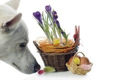 Il cane sente l'odore dei cestini con i croco Fotografia Stock Libera da Diritti
