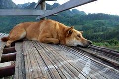 Il cane senza tetto che guarda fuori la scogliera, cane di Brown sta rilassandosi sul pavimento di mattina immagine stock libera da diritti