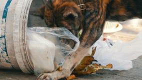 Il cane senza tetto solo sta cercando l'alimento in un bidone della spazzatura nel fango dei pacchetti e dei resti dell'alimento video d archivio