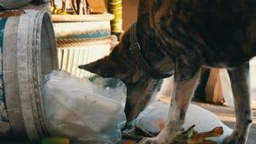 Il cane senza tetto solo sta cercando l'alimento in un bidone della spazzatura nel fango dei pacchetti e dei resti dell'alimento archivi video