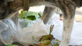 Il cane senza tetto solo sta cercando l'alimento in un bidone della spazzatura nel fango dei pacchetti e dei resti dell'alimento stock footage