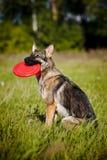 Il cane si siede e mantiene il disco Fotografia Stock