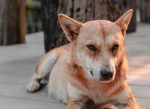Il cane si siede su un patio di legno Fotografia Stock Libera da Diritti