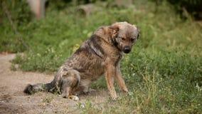 Il cane si siede su una catena Multi razza Sul raccoglitore Ondeggia la sua coda, esamina la macchina fotografica Ritratto archivi video