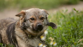 Il cane si siede su una catena Multi razza Sul raccoglitore Ondeggia la sua coda, sbadiglia, canta una voce video d archivio