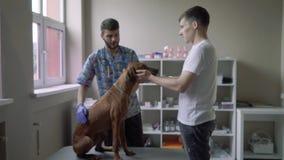 Il cane si siede su una tavola in una clinica veterinaria stock footage