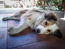 Il cane sonnolento mette sul pavimento immagine stock