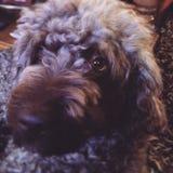 Il cane splendido gentile addolcisce amato Fotografia Stock
