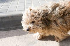 Il cane sporco sembra misero Il cane bianco sta cercando i proprietari Animale smarrito sulla via fotografie stock