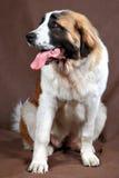 Il cane St Bernard della razza, si siede la foto dello studio su fondo marrone Immagine Stock