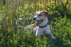 Il cane sta divertendosi su un campo dell'estate in pieno di erba verde fotografia stock