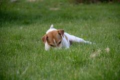 Il cane sta divertendosi su un campo dell'estate in pieno di erba verde immagini stock