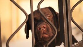 Il cane sta esaminando il recinto stock footage
