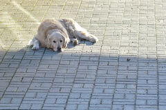 Il cane sta riposando Fotografie Stock Libere da Diritti