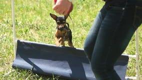 Il cane sta saltando sopra un piccolo ostacolo stock footage