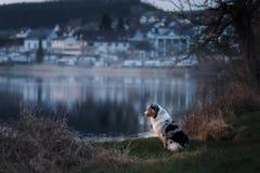 Il cane sta sedendosi dal lago Pastore australiano in natura Passeggiata dell'animale domestico fotografia stock libera da diritti