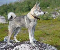 Il cane sta su una roccia Fotografia Stock