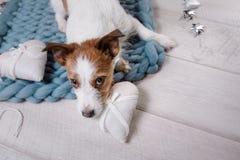 Il cane sta trovandosi sul pavimento Jack Russell Terrier su una coperta fotografia stock