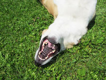 Il cane sta trovandosi sul suo parte posteriore (35) Fotografie Stock Libere da Diritti