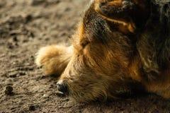 Il cane stanco dorme sul pavimento fotografia stock libera da diritti