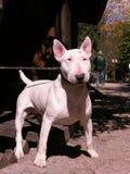 Il cane sul guinzaglio Fotografia Stock
