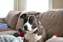 Il cane sul sofà che esamina macchina fotografica Immagini Stock Libere da Diritti