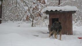 Il cane sulla catena in neve entra nella sua fossa di scolo nell'inverno in precipitazioni nevose video d archivio