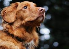 Il cane sveglio esamina fuori la distanza Immagini Stock Libere da Diritti