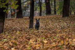 Il cane tailandese di Ridgeback sta camminando su Autumn Leaves Ground Immagine Stock