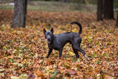 Il cane tailandese di Ridgeback sta camminando su Autumn Leaves Ground Fotografia Stock
