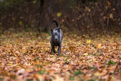 Il cane tailandese di Ridgeback sta giocando su Autumn Leaves Ground Immagine Stock