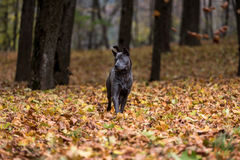 Il cane tailandese di Ridgeback sta stando su Autumn Leaves Ground Fotografia Stock