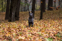 Il cane tailandese di Ridgeback sta stando su Autumn Leaves Ground Immagine Stock