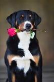 Il cane tricolore di Sennenhund Appenzeller con è aumentato nella bocca immagini stock
