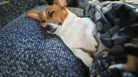 Il cane triste sta dormendo sul letto sotto la coperta archivi video