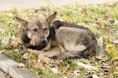 Il cane, trovantesi sull'erba ingiallita Fotografia Stock Libera da Diritti