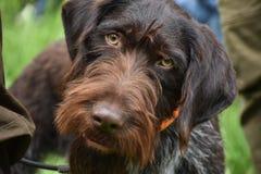 Il cane wirehaired tedesco del puntatore sta esaminando la macchina fotografica fotografia stock