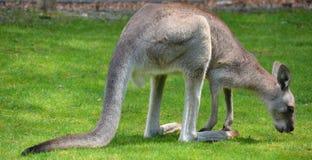 Il canguro è un marsupiale immagini stock