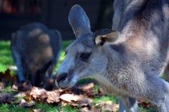 Il canguro è un marsupiale fotografie stock