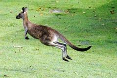 Il canguro che salta via Fotografia Stock Libera da Diritti