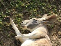 Il canguro sta dormendo immagine stock