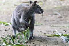 Il canguro sta mangiando i tiri verdi Fotografia Stock Libera da Diritti