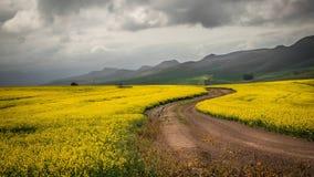Il canola giallo sistema con la strada non asfaltata e le montagne nei precedenti e nelle nuvole temporalesche di contrapposizion Fotografia Stock Libera da Diritti