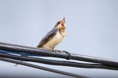 Il canto aperto del becco dell'uccello del sorso di granaio si è appollaiato sul cavo di telefono immagine stock