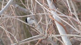 Il capezzolo agile del salice saltato su un ramo, affila un becco, fa una schifezza ed ha volato via archivi video