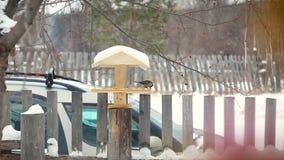 Il capezzolo mangia dall'alimentatore nell'inverno archivi video