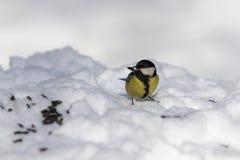 Il capezzolo mangia i semi di girasole sulla neve fotografia stock libera da diritti
