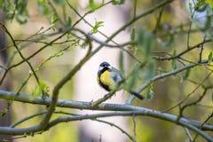 Il capezzolo si è appollaiato su un ramo di albero e sull'esame della macchina fotografica Fotografie Stock